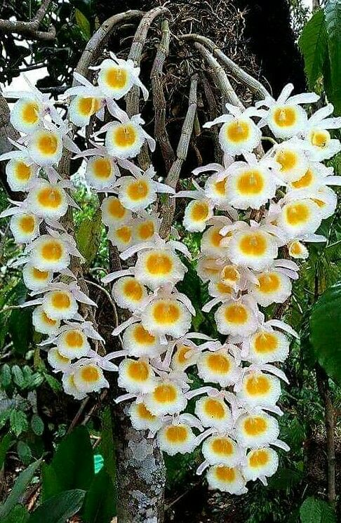 Do You Cut Off Dead Orchid Stems   is part of Growing orchids, Exotic flowers, Orchid plants, Dendrobium orchids, Beautiful orchids, Orchids - Do you cut off dead orchid stems as well as how to cut the stems  Yes, using the appropriate technique depending on the variety you own