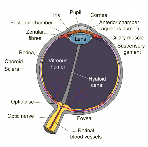 The Human Eyeball  With Images