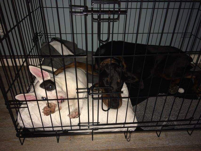Bellatres Doberman Laundry Basket Dogs