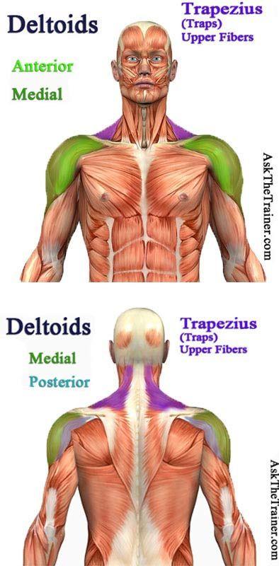 Best Shoulder Workout For Men Shoulder Anatomy Shoulder Workout