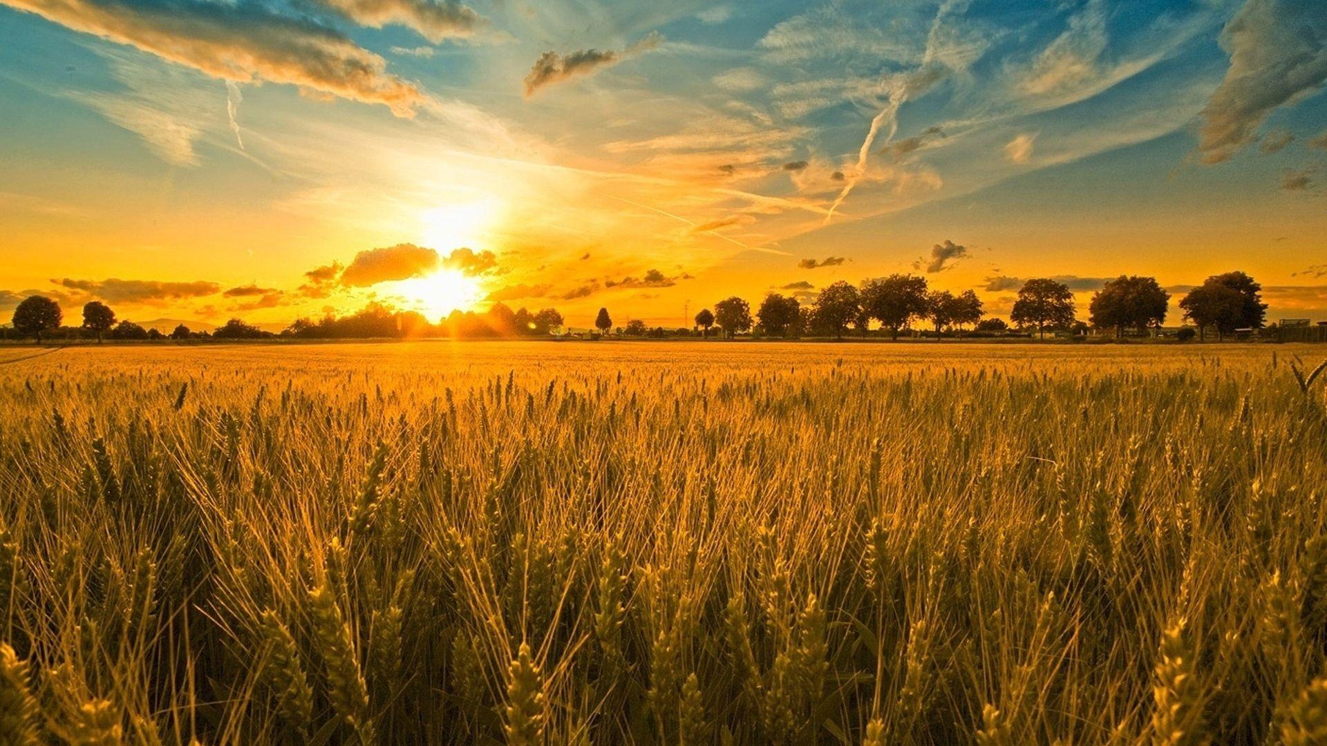 field, ears, cereals - http://www.wallpapers4u.org/field-ears-cereals/