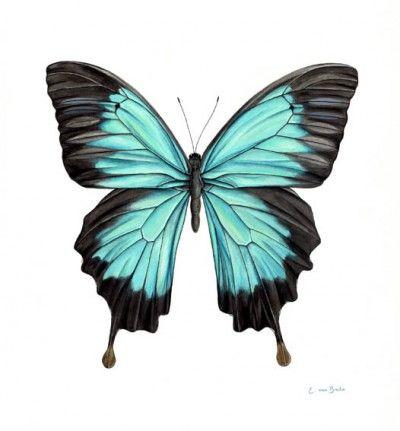 watercolour paintings of butterflies | Watercolour painting of a blue butterfly, common name: 'Blue Mountain ...
