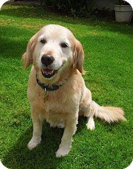Los Angeles Ca Golden Retriever Meet Timothy Edward A Dog For Adoption Http Www Adoptapet Com Pet Golden Retriever Golden Retriever Rescue Dog Adoption