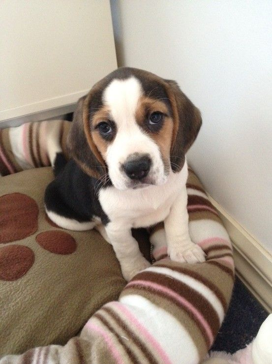 Beagle Puppy Cute Puppies And Dog Training Advice By