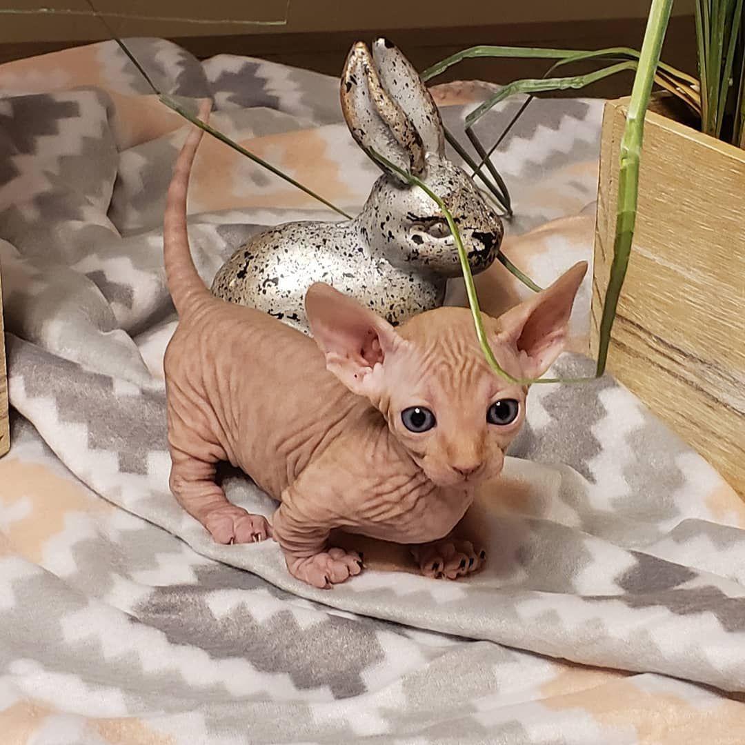Strange Sphynx And Elfs On Instagram Bambino Cuteness Bambino Kittensofinstagram Strangesphynxandelfs Sphynxcatsoins Hairless Kitten Sphynx Hairless Cat