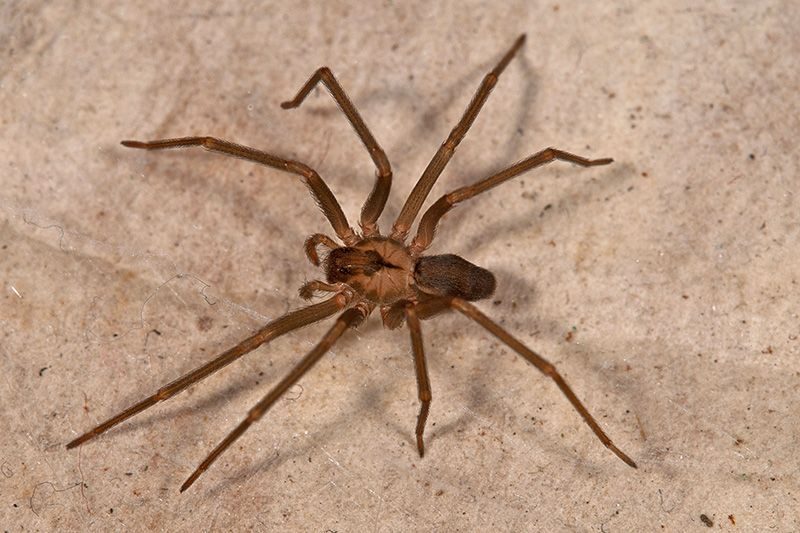 brown recluse images - 800×533