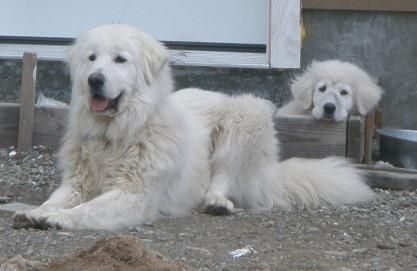 All In A Day S Work Callie The Livestock Guardian Dog Maremma