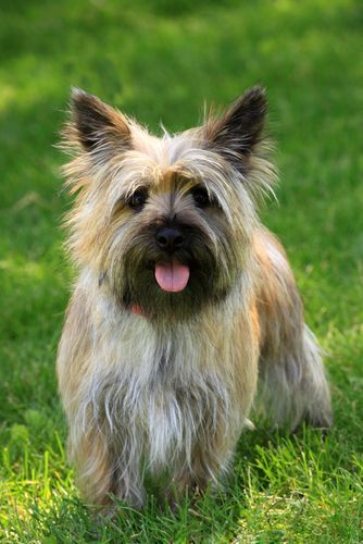 Breed Profile Learn About The Cairn Terrier Cairn Terrier