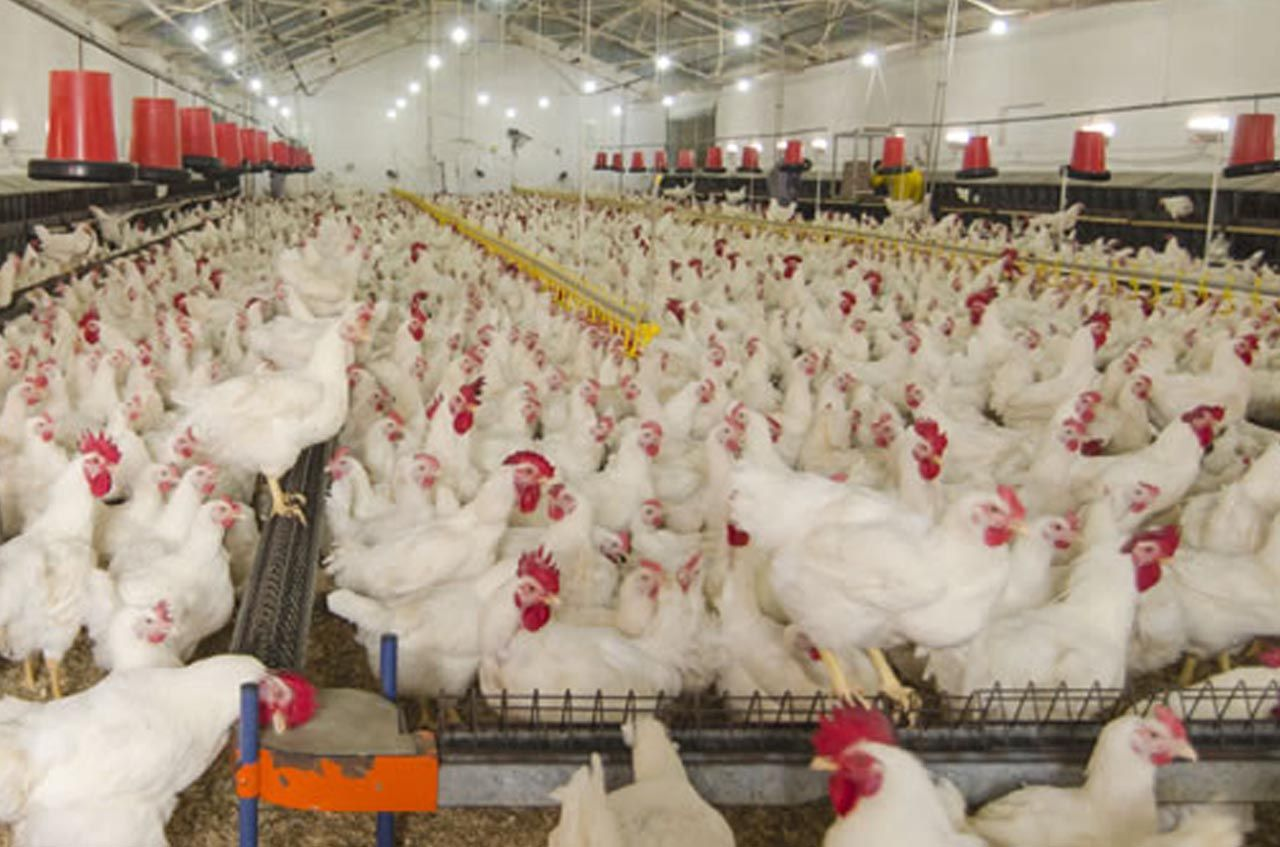 Poultry farming business is an excellent opportunity for
