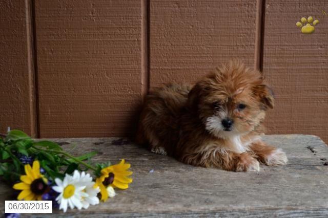 Shorkie Puppy For Sale In Ohio Buckeyepuppies Shorkie Puppies