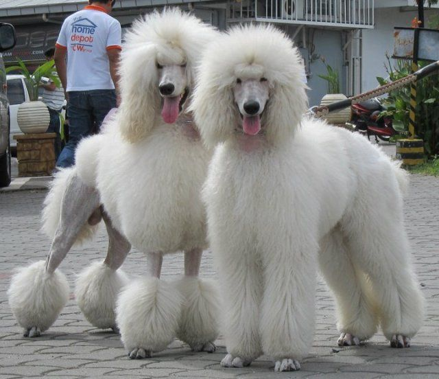 2 White Cream Standard Poodles I Can T Take It I Have To Have One