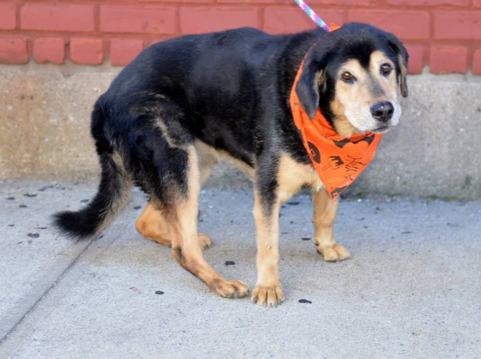 SAFE --- SUPER URGENT 10/11/14 Brooklyn Center CANO aka DENNY - A0409124 (Alternate # A1017012) NEUTERED MALE, BLACK / WHITE, COLLIE SMOOTH MIX, 10 yrs STRAY - EVALUATE, HOLD FOR ID Reason STRAY Intake condition EXAM REQ Intake Date 10/10/2014, From NY 11691, DueOut Date 10/19/2014, https://www.facebook.com/photo.php?fbid=886406894705524