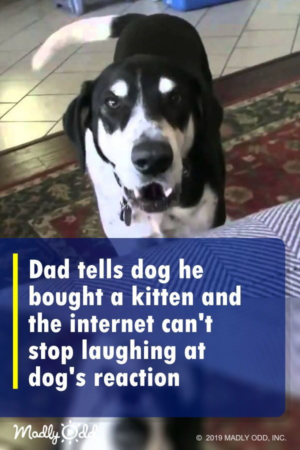 Perhaps this dog was unusual: he actually wanted a kitten to keep him company. His dad came home from the pet store and announced he'd brought home a kitten. The dog's reaction is hilarious! #dogs #pets #dog #funny