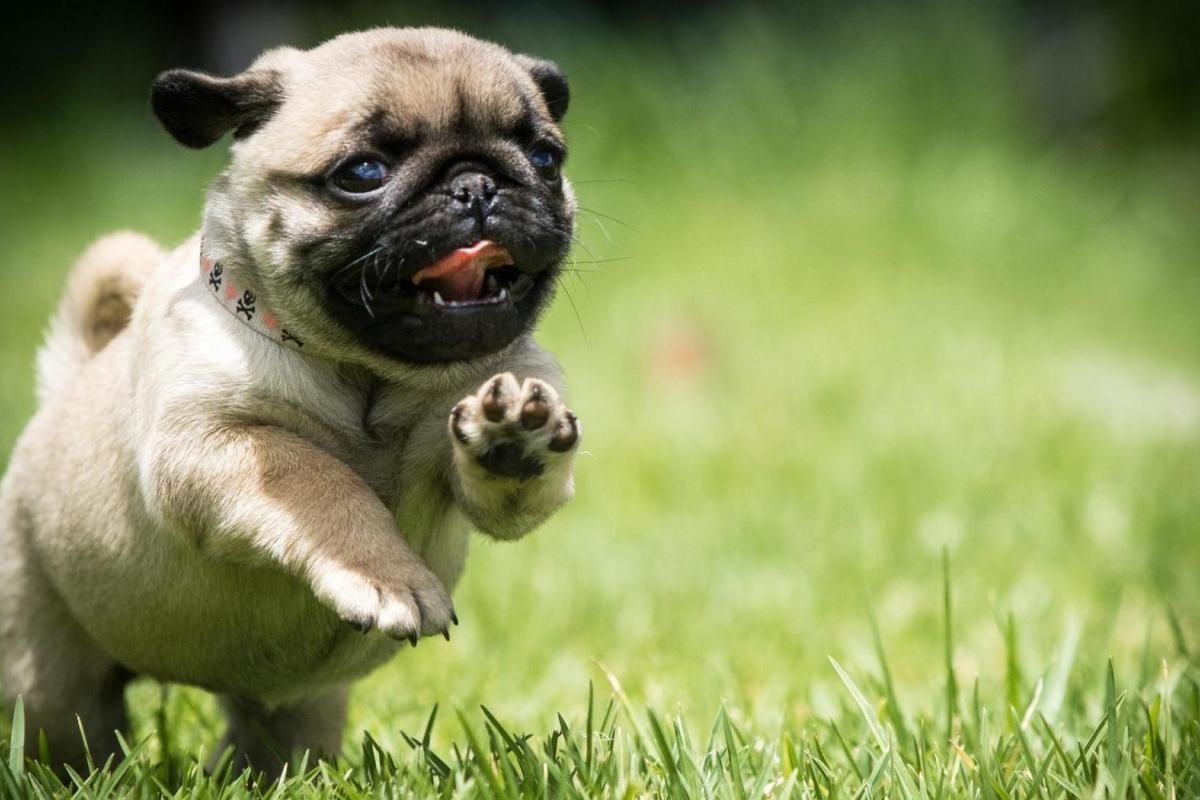 Courir Funnypuppybackgrounds Dogs And Puppies Pugs Cute Pugs