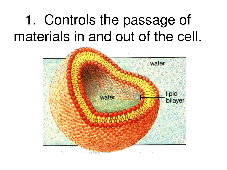 Cell Membrane Model Bing Images Teaching biology