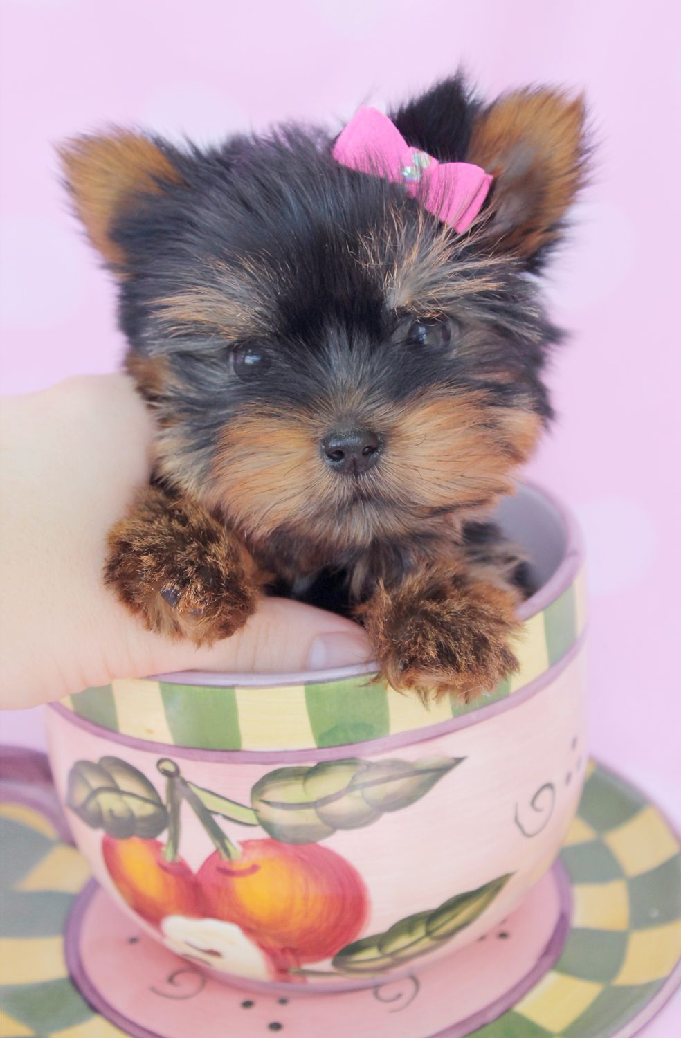 Itty Bitty Teacup Yorkie Puppy By Teacupspuppies Com Yorkie Puppy For Sale Teacup Yorkie Puppy Teacup Puppies