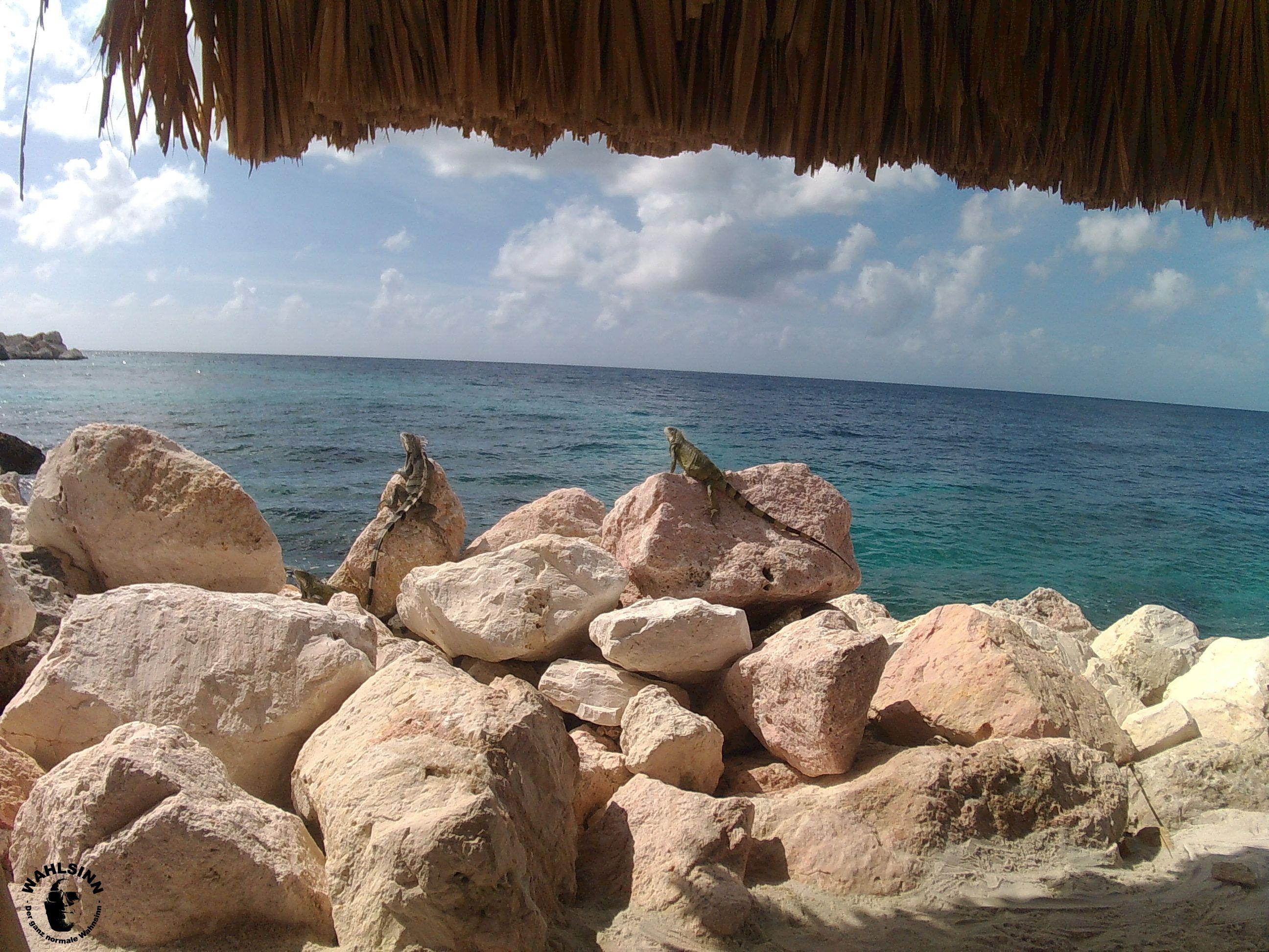 Curacao - Auch an Land sind wunderschöne Tiere zu beobachten. Hier: Leguane beim Sonnenbad