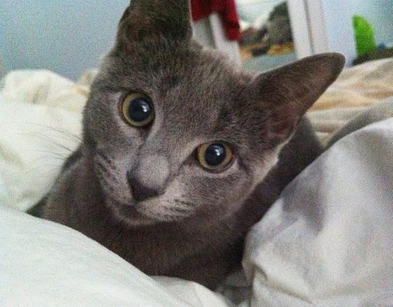 Cute Rescue Russian Blue Cat Today Russian Blue Russian Blue Cat Cat Hug