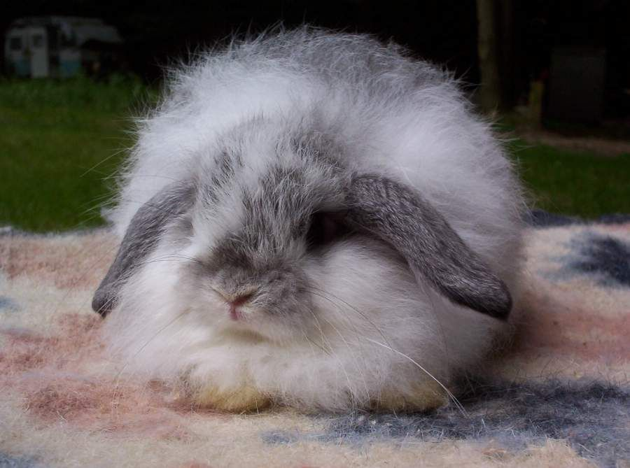 American Fuzzy Lop Rabbits For Sale Rabbit