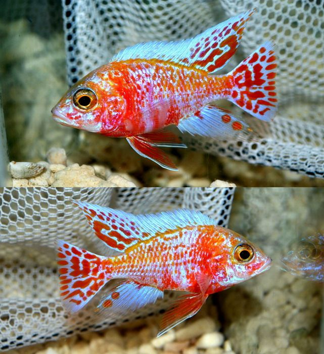 Aulonocara SP. (Hybrid) OB Peacock Cichlid Strawberry OB ...