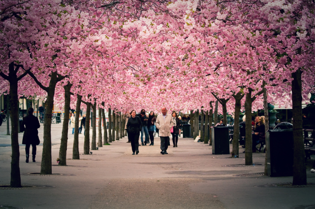 Spring Around The World 25 Fascinating Cherry Blossom Photos With Images Cherry Blossom Beautiful Gardens Photo