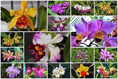 Orchids (Flowers and Plants) – > Cattleya – Communauté – Google+