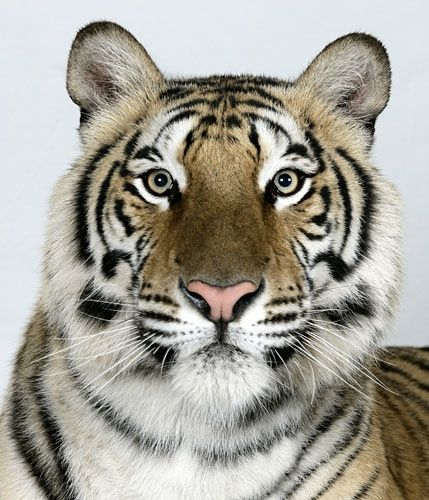 In pictures: The four faces of the Bengal tiger