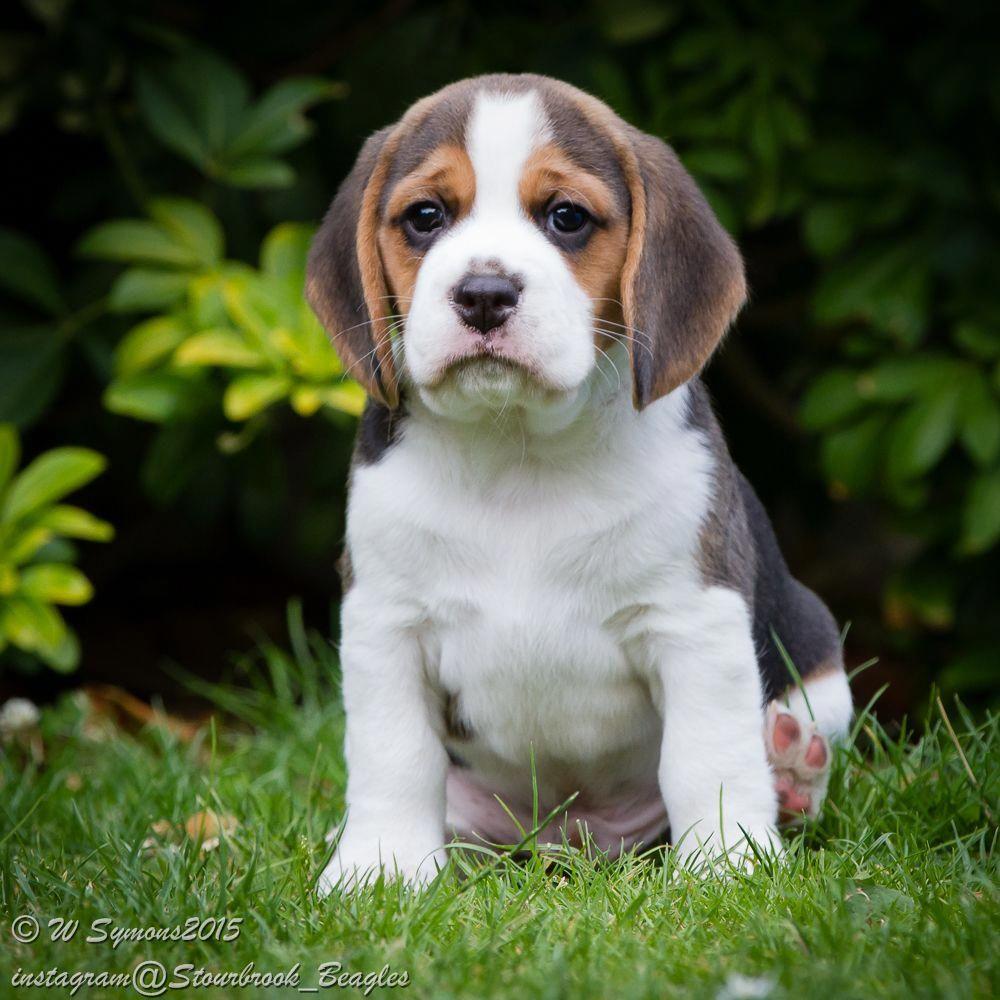 Beagle Dogs Beagle Beagle Puppy Beagle Dog Dogs