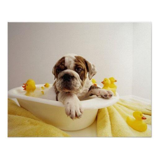 Bulldog Puppy In Miniature Bathtub Adorable Bulldog Puppies