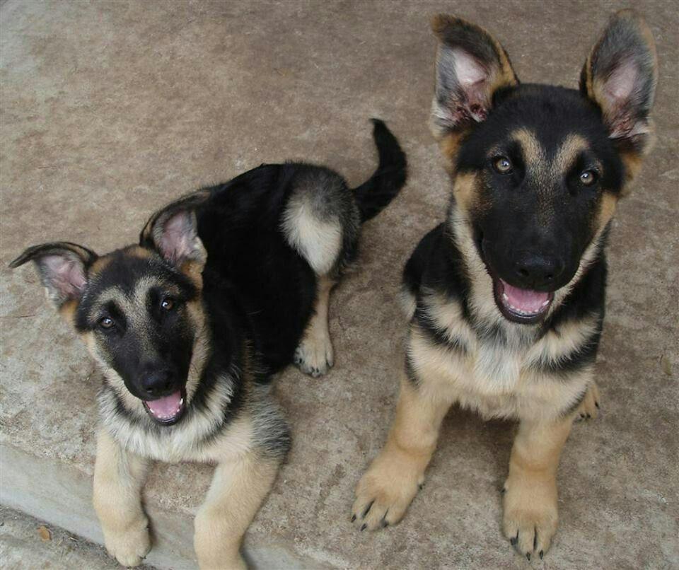 U me... As GSD's German shepherd puppies, German