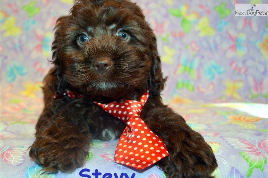 Cockapoo Puppy For Sale Near Joplin Missouri 1e9431f0 3f21
