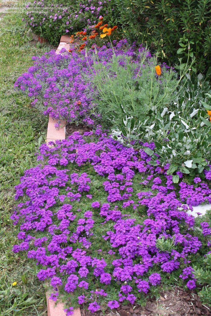 Perennial Ground Cover Full Sun: Verbena Canadensis: Groundcover; Perennial; Light Needs