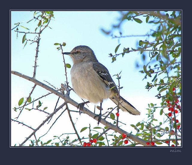 Mockingbird On First Full Day Of Spring Bird Life List And