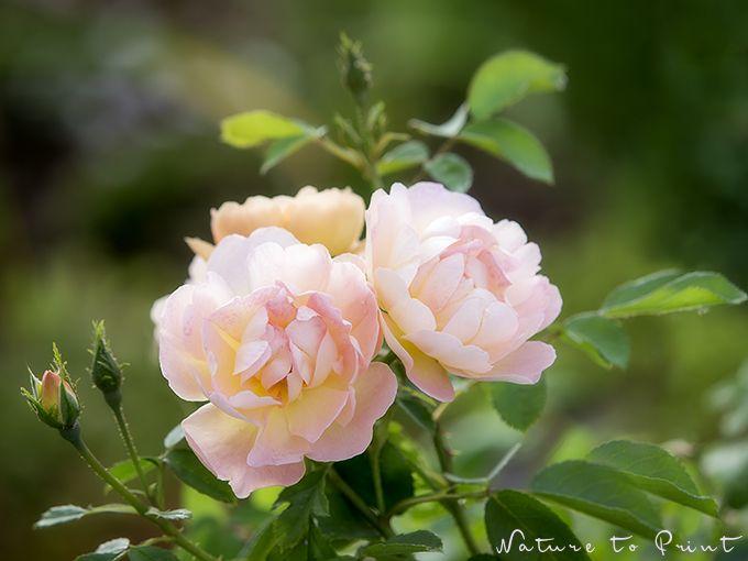 Rosa Rose im Garten Leinwandbild
