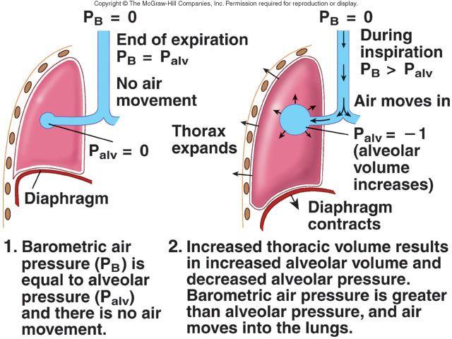 rutgers respiration system outline 1*   school stuff   Pinterest