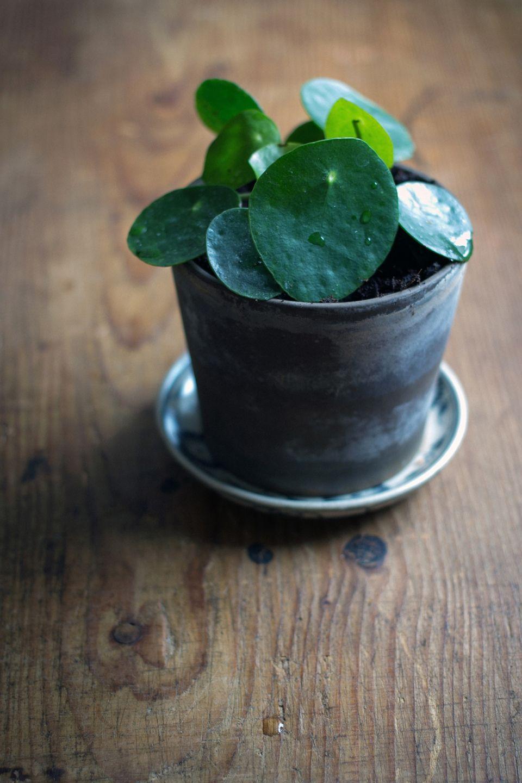 pilea peperomioides chilitonka pretty pilea please pinterest cultiver son jardin. Black Bedroom Furniture Sets. Home Design Ideas