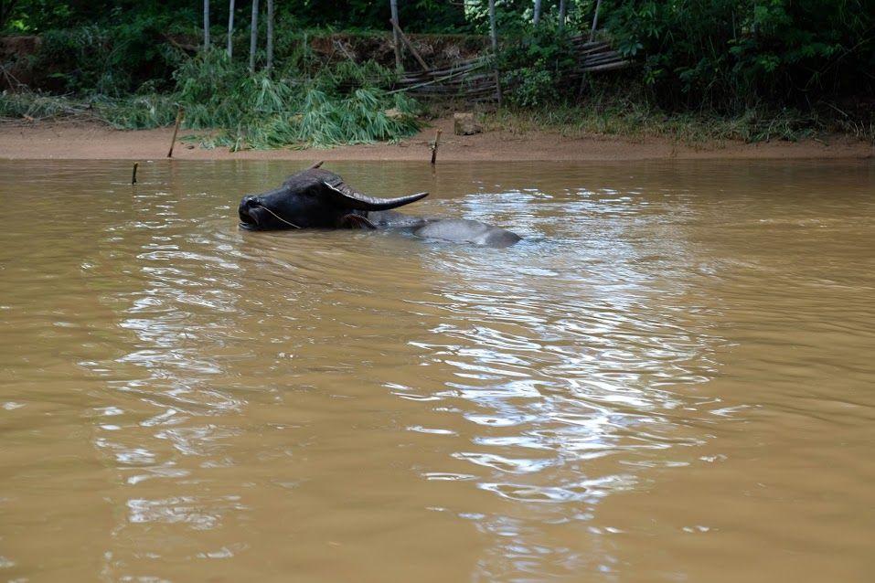 water buffalo - Inthein, Inle Lake