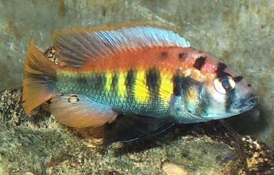 Python Island Pundamilia Nyererei Aquarium Fish Cichlids African Cichlids