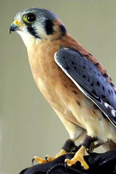 Birds of Prey Ohio Identification | Northwest Ohio Bird Pictures ...