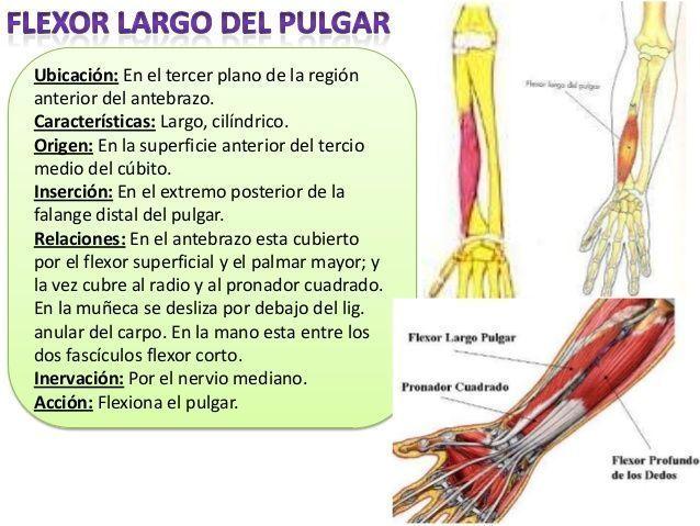 Músculos miembro superior   Anatomia   Pinterest   Miembro, Músculos ...
