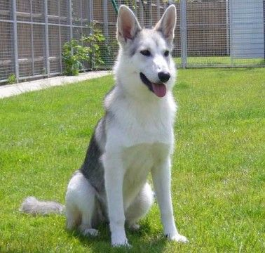 Rosie 8 Month Old Female Siberian Husky Cross German Shepherd Available For Adoption Pastor Aleman Husky Pastor