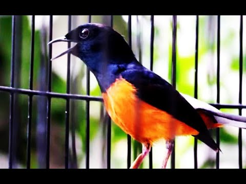 Pin By Bner On Masteran Murai Batu In 2021 Animals Bird Parrot