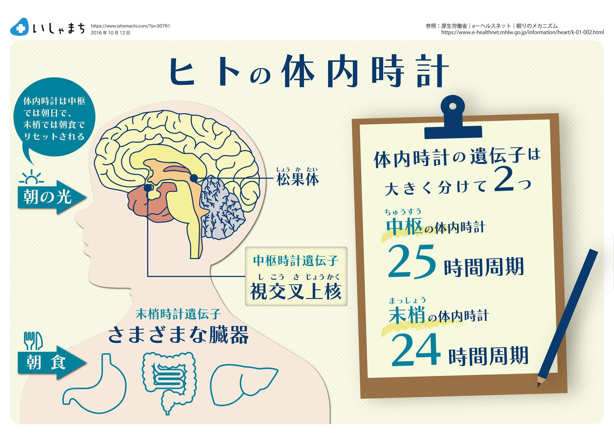 ヒトの体内時計 Infographics パンフレット デザイン ストレッチ ヨガ 健康と美容