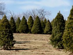 Indiana or Midwest Christmas Tree Farms | Christmas tree ...