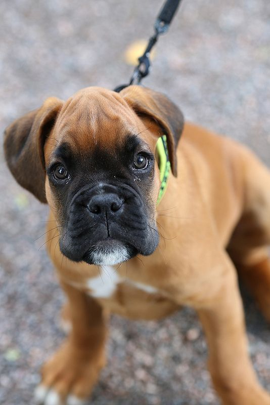 European Boxer Puppy You Can Tell By The Very Black Mask And
