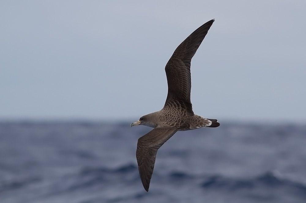 Cory's Shearwater (Calonectris diomedea borealis, Procellariformes) - Madeira Island  Seabird