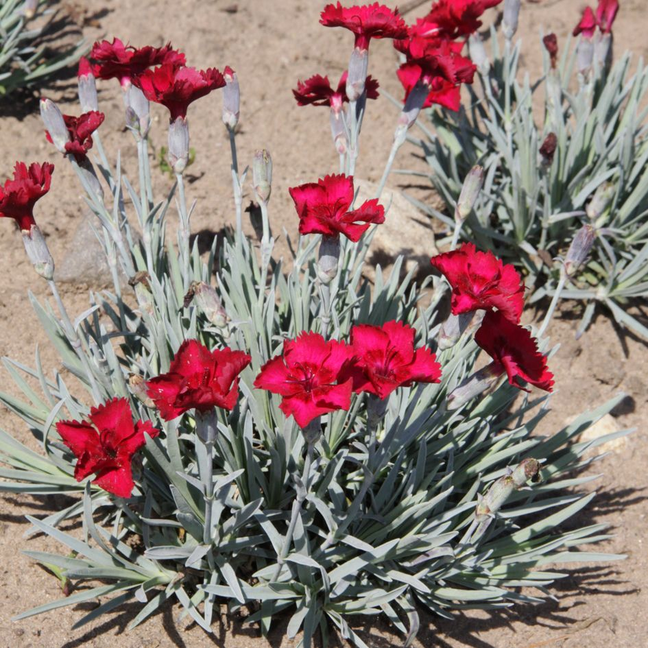 dianthus gratianopolitanus 'rubin' / pfingst-nelke 'rubin, Gartengerate ideen