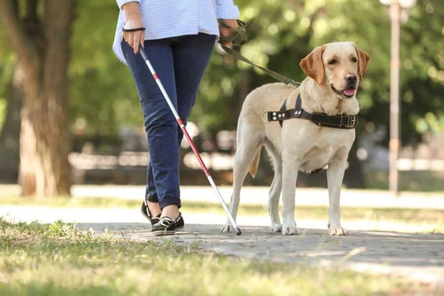 Which Breeds Make the Best Service Dogs? in 2020 Service