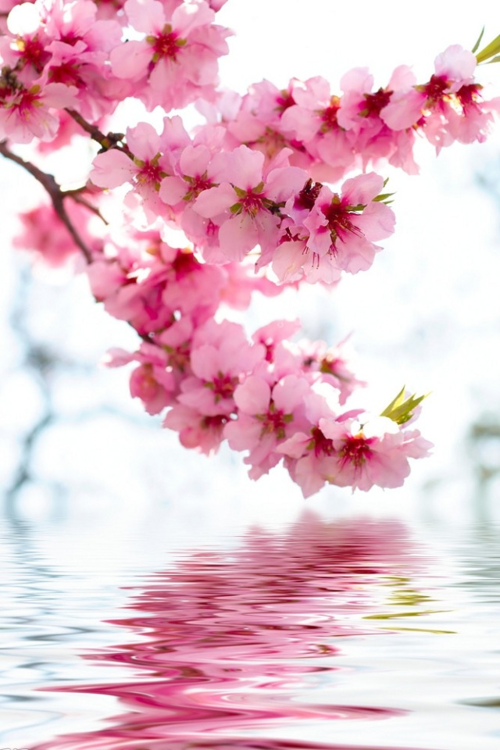 The Cherry Blossoms Are In Full Bloom Nothing Soothes My Soul More