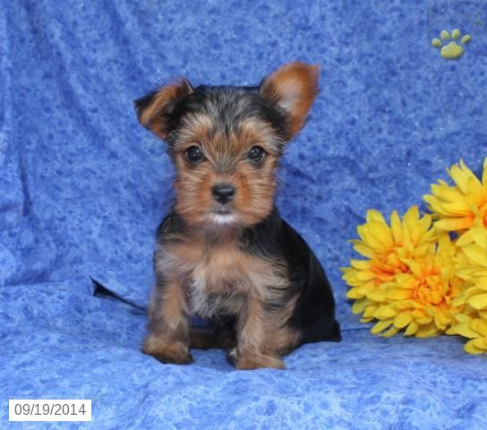 Sweetheart Yorkshire Terrier Puppy For Sale In East Earl Pa